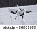 着陸するタンチョウ(北海道・鶴居) 36903955