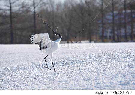 着陸後、翼をたたむタンチョウ(北海道・鶴居) 36903956