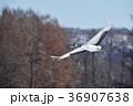 飛ぶ タンチョウ ツルの写真 36907638