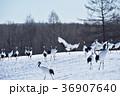 タンチョウ ツル 野鳥の写真 36907640
