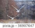 二羽のタンチョウの飛翔姿(北海道・鶴居) 36907647