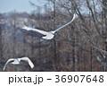 二羽のタンチョウの飛翔姿(北海道・鶴居) 36907648
