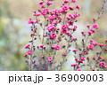 植物 花 ギョリュウバイの写真 36909003