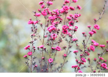 ギョリュウバイの花 36909003