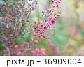 植物 花 ギョリュウバイの写真 36909004