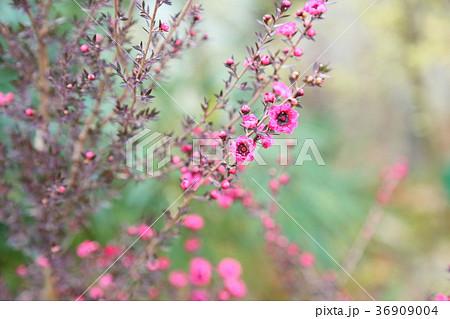 ギョリュウバイの花 36909004