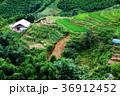 bright green rice fields around Cat Cat village 36912452