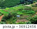 bright green rice fields around Cat Cat village 36912456