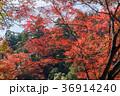 紅葉 もみじ 秋の写真 36914240