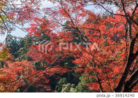 京都高尾山での紅葉 36914240