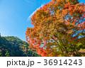 紅葉 高尾山 秋の写真 36914243