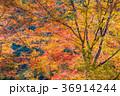 京都高尾山での紅葉 36914244