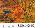 京都高尾山での紅葉 36914245