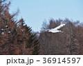 飛ぶ タンチョウ ツルの写真 36914597