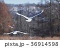 タンチョウ ツル 飛翔の写真 36914598