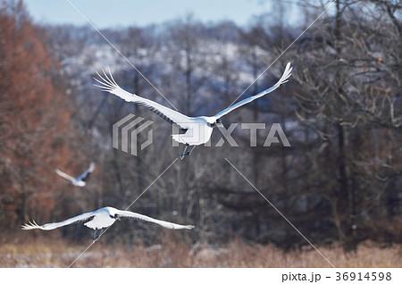 二羽のタンチョウの飛翔姿(北海道・鶴居) 36914598