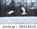 タンチョウ 飛び立つ ツルの写真 36914610