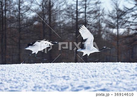 二羽のタンチョウの飛び立ち(北海道・鶴居) 36914610