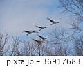 タンチョウ ツル 飛ぶの写真 36917683