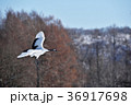 タンチョウの飛翔姿(北海道・鶴居) 36917698
