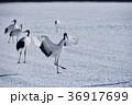翼を広げて着陸する丹頂鶴(北海道・鶴居) 36917699