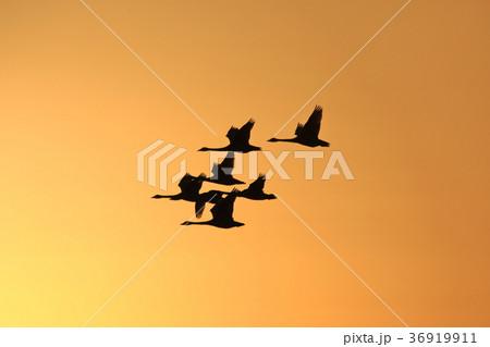 夕陽を浴びて飛び立つ白鳥 36919911