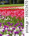 チューリップ チューリップ畑 花の写真 36923470