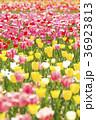 チューリップ畑 36923813