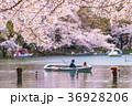 井の頭恩賜公園の桜 36928206