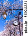 国立大学通り 桜 街灯の写真 36928881