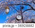 国立大学通り 桜 街灯の写真 36928882