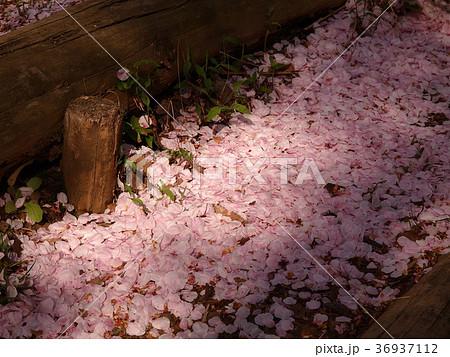 地上へ舞い落ちた桜の花びら 36937112