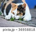 三毛猫 36938818
