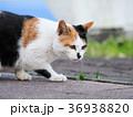 三毛猫 36938820