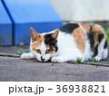 三毛猫 36938821