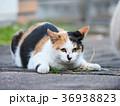 三毛猫 36938823