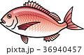 タイ(マダイ) 36940457