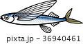 トビウオ(アゴ) 36940461