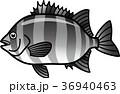 イシダイ 魚 海水魚のイラスト 36940463