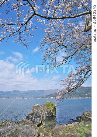 桜の海津大崎 36940545