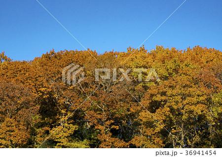 紅葉する雑木林 秋の狭山丘陵 36941454