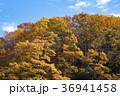 紅葉 林 雑木林の写真 36941458
