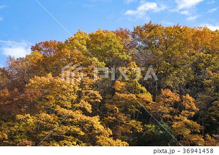紅葉する雑木林 秋の狭山丘陵 36941458