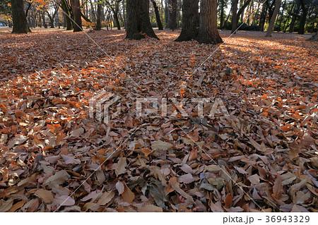 クヌギ林の落ち葉 小金井公園 36943329