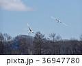 タンチョウ ツル 二羽の写真 36947780