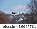 タンチョウ ツル 二羽の写真 36947781
