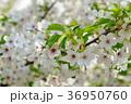 桜 大島桜 花の写真 36950760