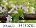 桜 大島桜 花の写真 36950761