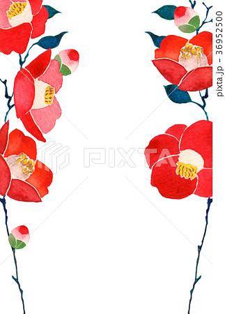 椿 背景 寒中見舞い 水彩 イラスト 36952500