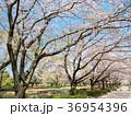 桜並木 桜 城山公園の写真 36954396